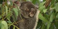 Australia, WWF: koala, perso circa il 30% della popolazione