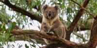 WWF: un miliardo gli animali uccisi dalle fiamme in Australia