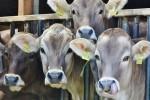 Coronavirus, Coldiretti: nella zona rossa ci sono 100mila mucche e maiali