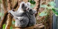 WWF: Il koala rischia l'estinzione