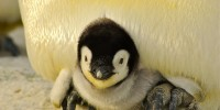 Greenpeace: colonie di pinguini in Antartide calate fino al 77% in mezzo secolo