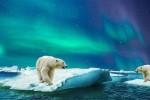 Giornata Mondiale dell'orso polare: a rischio il 30% della popolazione
