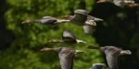 """Fauna selvatica in difficoltà, Lipu: """"Raccogliere pulcini solo se necessario"""""""