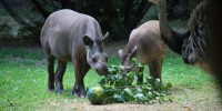 Gli incidenti stradali mettono a rischio la sopravvivenza dei tapiri