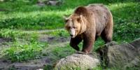 trentino: catturato l'orso M49, alias Papillon