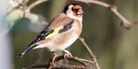 In tempi di Coronavirus, il birdwatching si fa dal balcone di casa