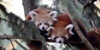 India: un corridoio naturale per tutelare il panda rosso