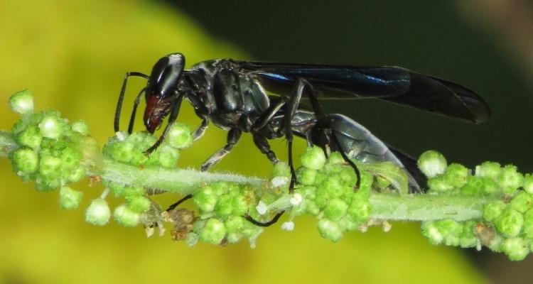Via libera alla vespa samurai per salvare i raccolti dalla cimice asiatica