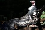 Nato in Italia l'unico pulcino di avvoltoio reale indiano al mondo