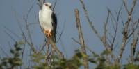 WWF: all'Oasi di Burano avvistato un rarissimo Nibbio bianco