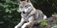 Dalle Alpi alla Calabria, il primo piano coordinato di monitoraggio del lupo