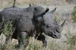 WWF: 13 rinoceronti neri nati grazie a un progetto di reintroduzione in Malawi