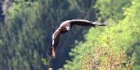 Tre dei quattro avvoltoi d'Italia in pericolo critico di estinzione