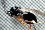 Nella valle dell'Adige trovato un insetto in grado di contrastare efficacemente la Drosophila suzukii