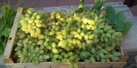 Viaggio nell'Italia dei Presìdi Slow Food: l'uva Pizzutello di Tivoli