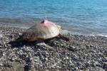 WWF, liberate a Policoro 2 tartarughe marine