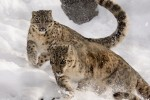 Leopardo delle nevi: ne restano appena 4.000 liberi in natura