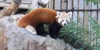 Al Parco Natura Viva sono arrivati due giovani di panda rosso