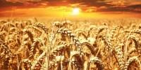 Covid, schizza il prezzo del grano con +16% nell'ultimo mese
