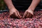 America Centrale, tra i maggiori produttori di caffè al mondo grazie a Madre Natura