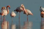 Oasi WWF Vasche di Maccarese: tornano fenicotteri