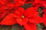 Covid, Natale senza 13,5 mln di alberi e stelle
