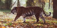 Animali: Tigre avvistata a 3.165 metri in Nepal orientale