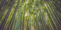 Il bambù gigante: un ettaro compensa emissioni annuali di CO2 di circa 40 persone