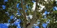 Roma: piantato il primo clone di Platanus Orientalis a Villa Borghese