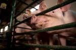 Scienziati chiedono all'UE di porre fine alle gabbie negli allevamenti