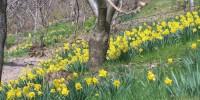 I narcisi di Lana: oltre 100.000 fiori ai piedi dei castagni di Johann Laimer