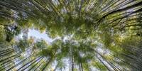 In Toscana in arrivo il più grande bambuseto d'Italia: 103 ettari di bambù gigante