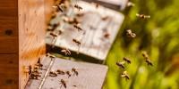 Greenpeace: in Lombardia 10 milioni di api non tornano all'alveare