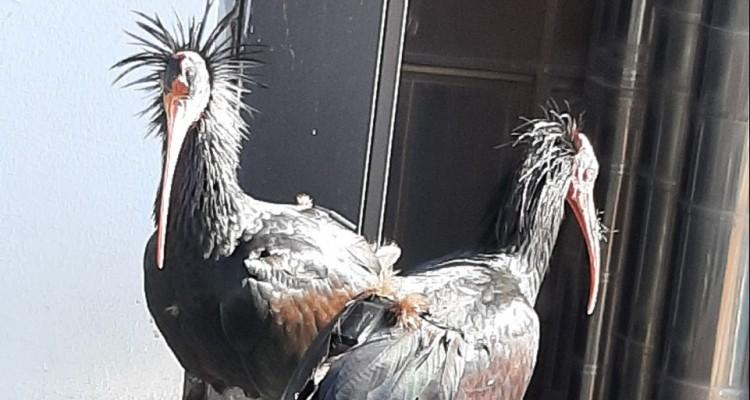 Due rari Ibis eremita depongono le uova a Roma Sud