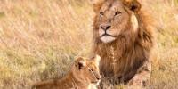 Leone, WWF: in 100 anni crollato il 90% della popolazione in Africa