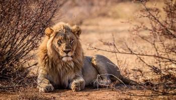 SOS leone, WWF: La pandemia rischia di cancellare i successi di conservazione