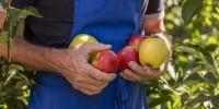 Le mele delll'Alto Adige nei masi Gallo Rosso