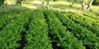 Il sedano di Gesualdo, in provincia di Avellino, è un nuovo Presidio Slow Food