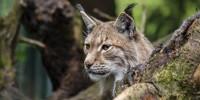 WWF: prima riproduzione accertata di una lince traslocata nelle Alpi slovene