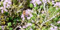 In Sicilia c'è un nuovo Presidio Slow Food: il miele di timo ibleo
