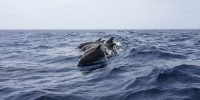 Alle isole Faroe torna il Grindadráp, l'assurdo massacro di cetacei