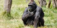 Oggi è la Giornata mondiale del Gorilla