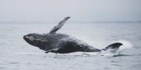 Cetacei, report WWF: rumore antropico sopportabile per l'uomo, deleterio per i cetacei