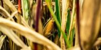 Al via Valomays: caratterizzare le varietà locali di mais lombardo per reintrodurle nei territori di origine