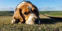 Cani e ansia da abbandono, è peggiorata con i lockdown